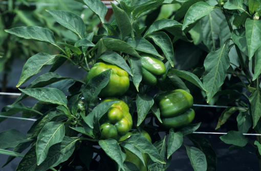 Why Do Pepper Plant Stems Turn Black?