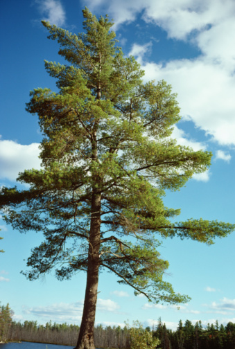 Difference Between a Juniper, Pine & an Arborvitae