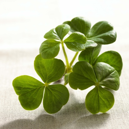 How to Troubleshoot a Shamrock Plant
