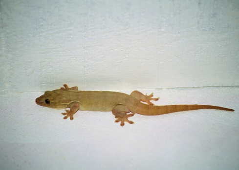Do Geckos Eat Bugs in the House?