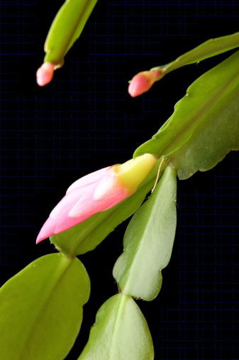 How to Use Castor Oil to Nourish a Christmas Cactus