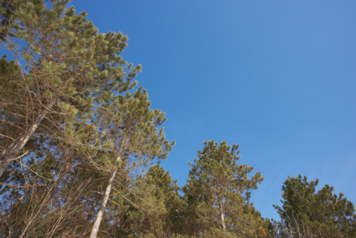The Average Height of Pine Trees