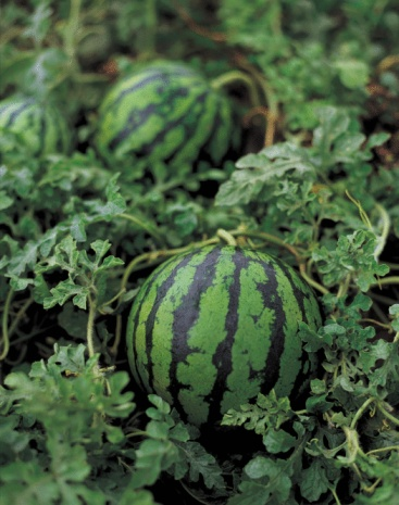 How to Grow Watermelon in Zone 6
