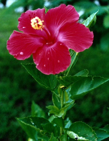 Are Hibiscus Dicots or Monocots?