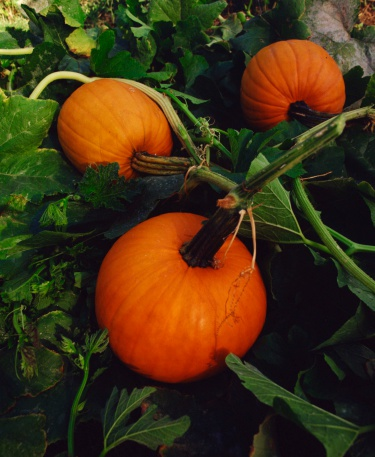 Are Pumpkins Perennial?