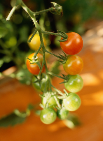 When to Plant Tomatoes in Tennessee