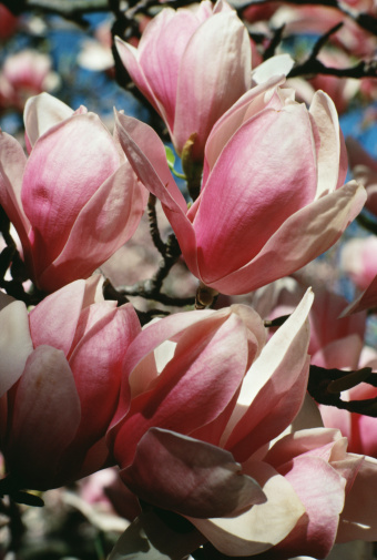 How to Kill a Magnolia Tree