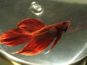 How to travel with fish ehow for How do you take care of a betta fish