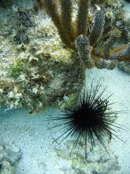 How to Remove Sea Urchin Spines   eHow