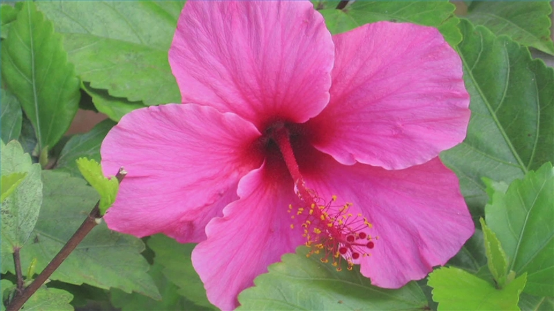 How To Transplant Care For Hibiscus Garden Guides