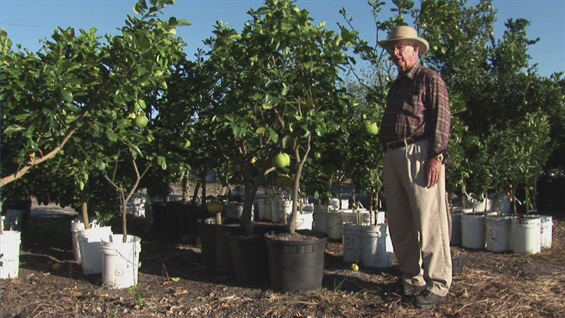 how to prune a citrus tree garden guides