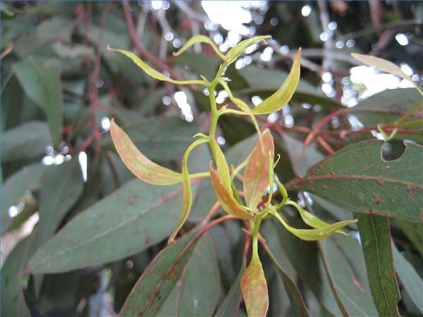 How To Grow Eucalyptus In Zone 7