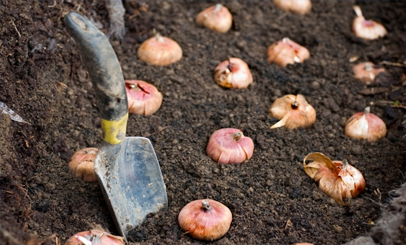 How to Plant Bulbs in Fall Garden Guides