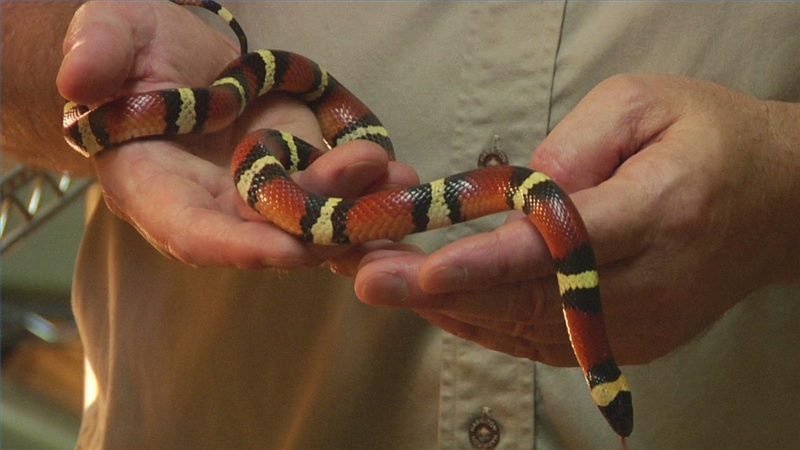 video what does a ring necked snake look like ehow