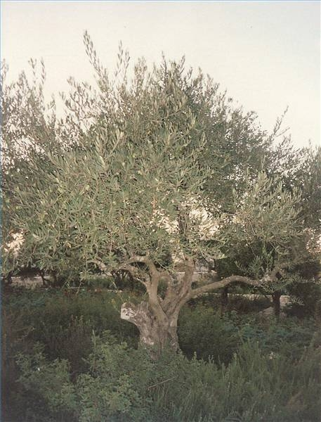 How to propagate russian olive trees ehow for Pruning olive trees in pots