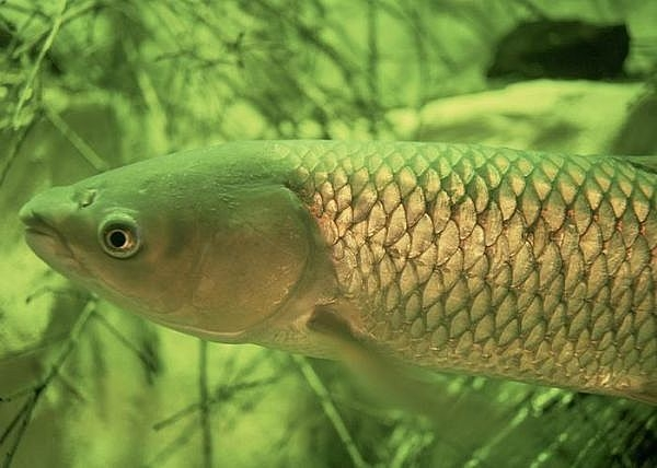 How to catch a grass carp gone outdoors your adventure for Can you eat carp fish
