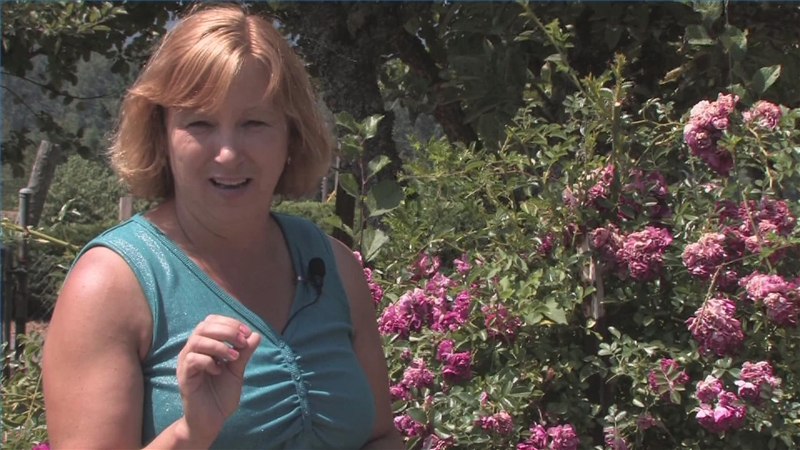 Roses In Garden: Video: How To Care For Knock Out Roses