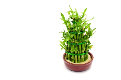 how to care for a bamboo plant with a yellow stem ehow. Black Bedroom Furniture Sets. Home Design Ideas