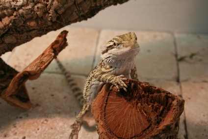 How To Use Ceramic Tile As A Substrate For Bearded Dragons