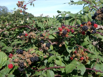 What Climate Do I Need To Grow Blackberries In Ehow