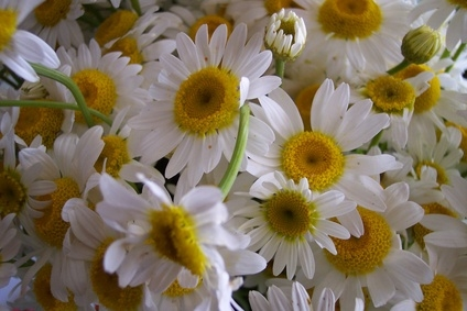 Facts About Daisy Flowers Ehow