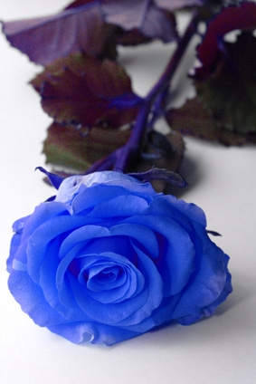 What does the blue rose represent with pictures ehow - What are blue roses called ...
