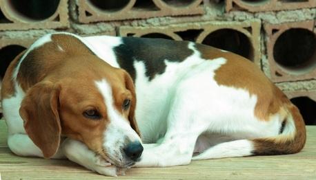 A Beagles Diet Beagle Dog's Diet   eH...
