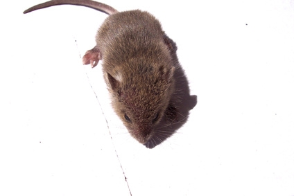 home remedies for killing mice ehow. Black Bedroom Furniture Sets. Home Design Ideas