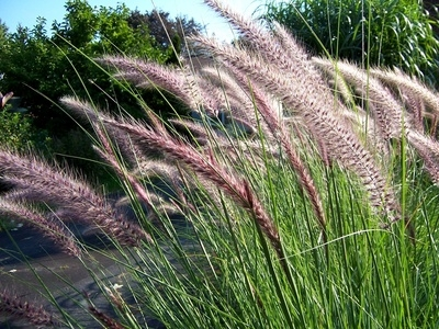 Tall grass types ehow for Tall ornamental grasses
