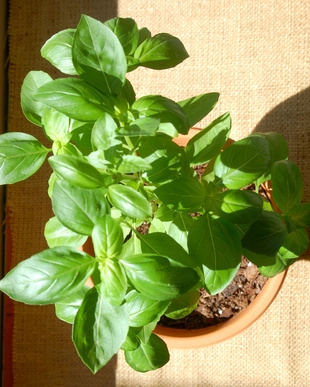 how to keep your basil plant alive