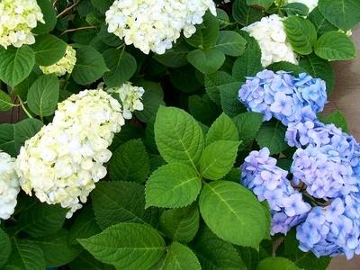 How to grow hydrangeas inside ehow - Care potted hydrangea ...