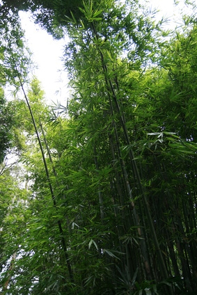 How Fast Does Bamboo Grow Ehow