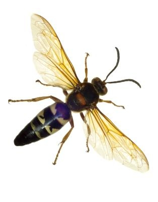 What Are The Different Types Of Wasps In Minnesota Ehow