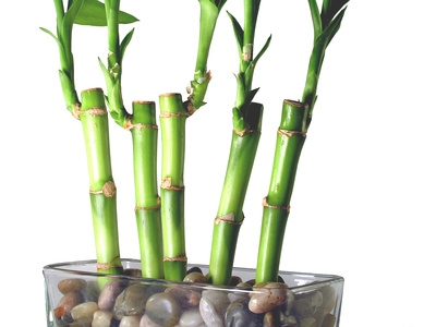 how to take care of bamboo plant at home