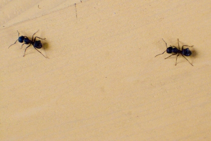 relationship of silverfish and army ants