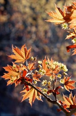 how to grow maple trees from cuttings
