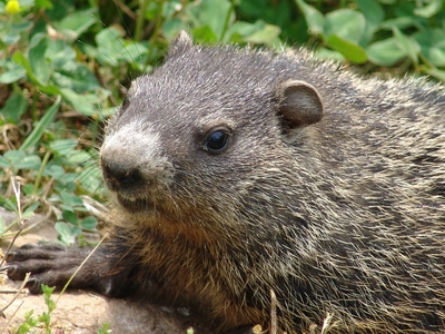 How to Keep Groundhogs Out of a Garden eHow