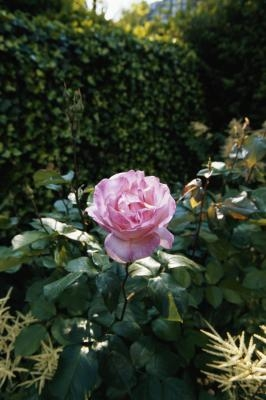 Homemade Rose Bush Spray With Pictures Ehow