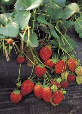 how to grow strawberries in oklahoma