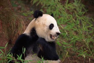 Preserving giant pandas for future generations to see