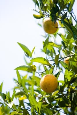 how to get rid of whiteflies on citrus trees