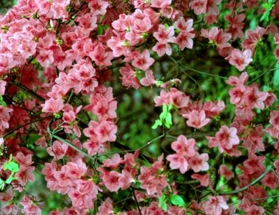Dwarf Evergreen Flowering Shrubs With Pictures Ehow
