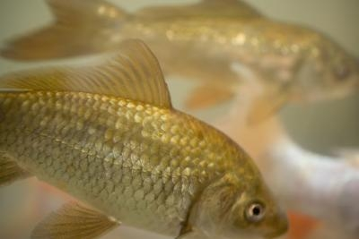 Can you mix goldfish guppies in the same aquarium ehow for Types of bony fish