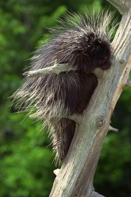 how to get rid of porcupines
