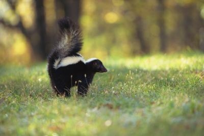 how to get rid of skunks in yard