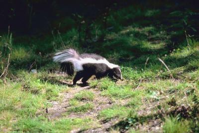 Get Rid Of Skunks Naturally