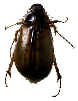 Asian Lady Beetle Infestation of Structures Entomology