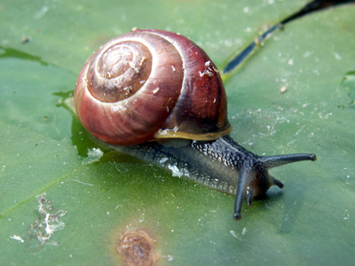 Animals that eat pond snails ehow for Garden pond snails