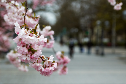 What Is The Meaning Of Cherry Blossom Flowers Ehow