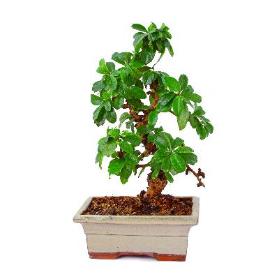 Different kinds of bonsai trees ehow for Different kinds of bonsai trees